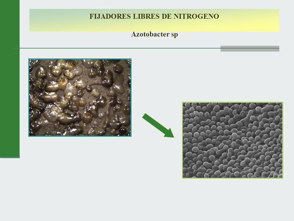 FIJADORES LIBRES DE NITROGENO Azotobacter sp