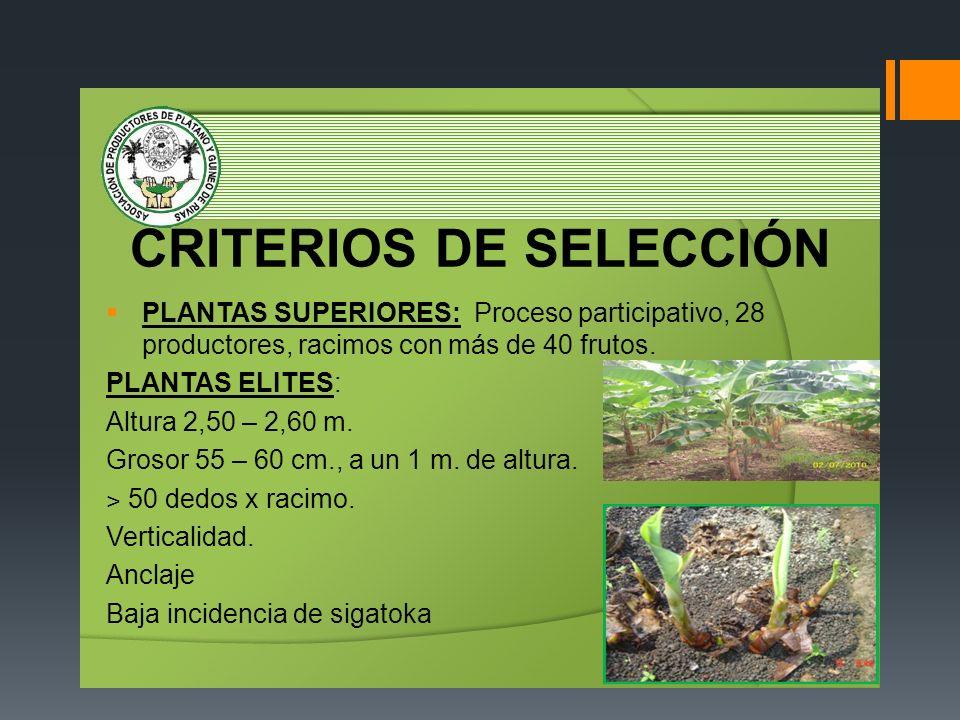CRITERIOS DE SELECCIÓN PLANTAS SUPERIORES: Proceso participativo, 28 productores, racimos con más de 40 frutos. PLANTAS ELITES: Altura 2,50 – 2,60 m.