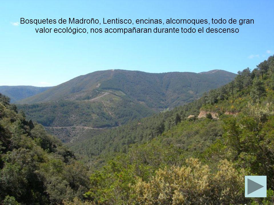Bosquetes de Madroño, Lentisco, encinas, alcornoques, todo de gran valor ecológico, nos acompañaran durante todo el descenso