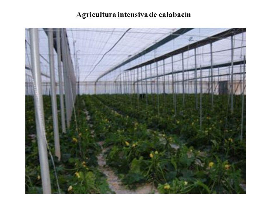 Agricultura intensiva de calabacín