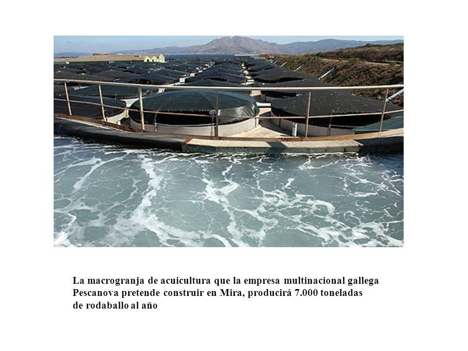 La macrogranja de acuicultura que la empresa multinacional gallega Pescanova pretende construir en Mira, producirá 7.000 toneladas de rodaballo al año