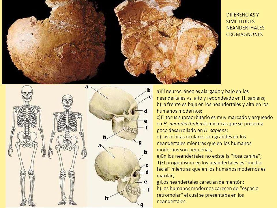 a)El neurocráneo es alargado y bajo en los neandertales vs. alto y redondeado en H. sapiens; b)La frente es baja en los neandertales y alta en los hum
