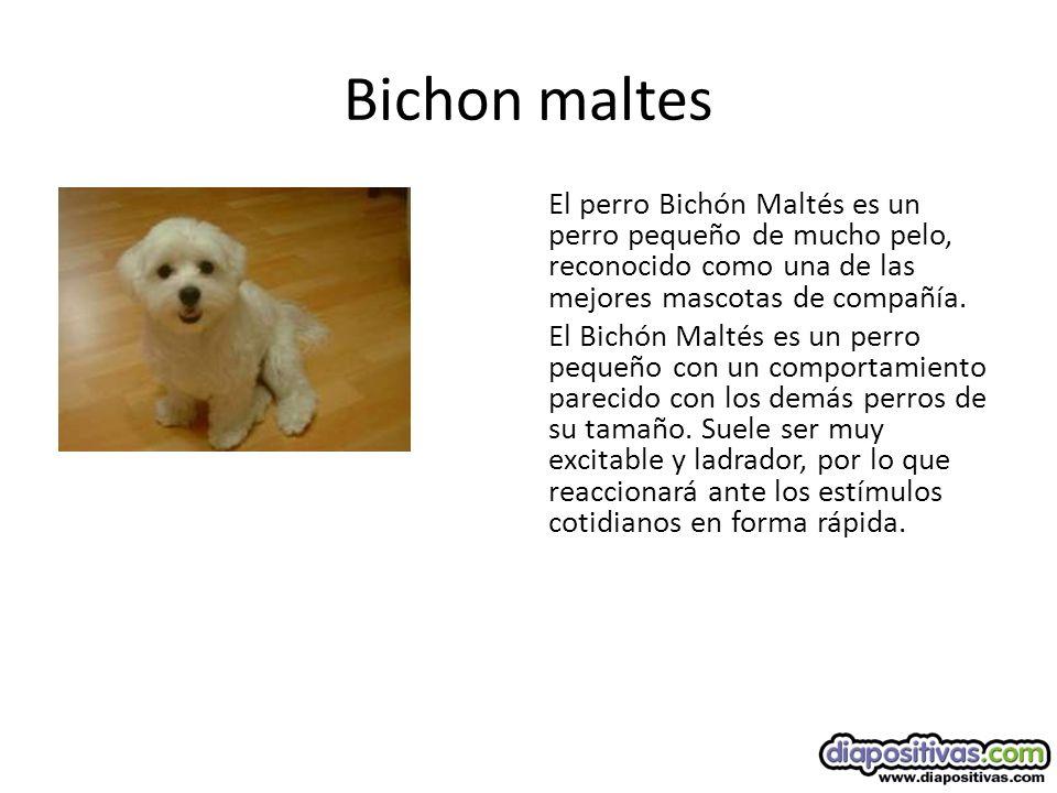 Bichon maltes El perro Bichón Maltés es un perro pequeño de mucho pelo, reconocido como una de las mejores mascotas de compañía.