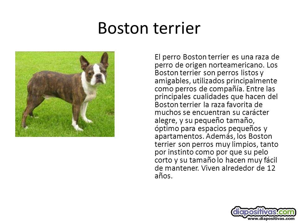 Boston terrier El perro Boston terrier es una raza de perro de origen norteamericano.