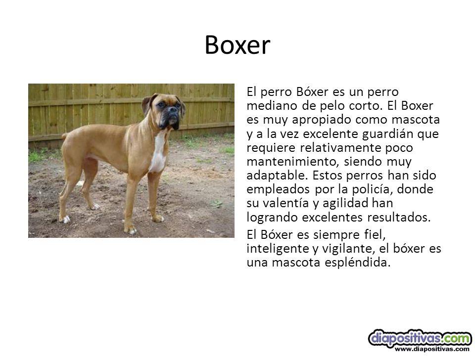 Boxer El perro Bóxer es un perro mediano de pelo corto.