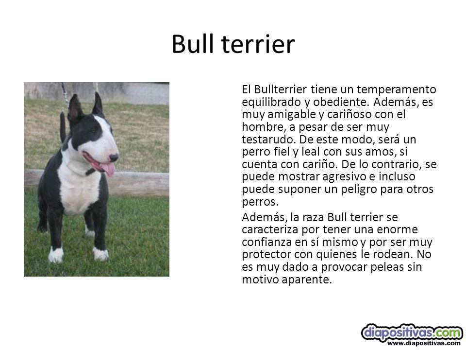 Bull terrier El Bullterrier tiene un temperamento equilibrado y obediente.