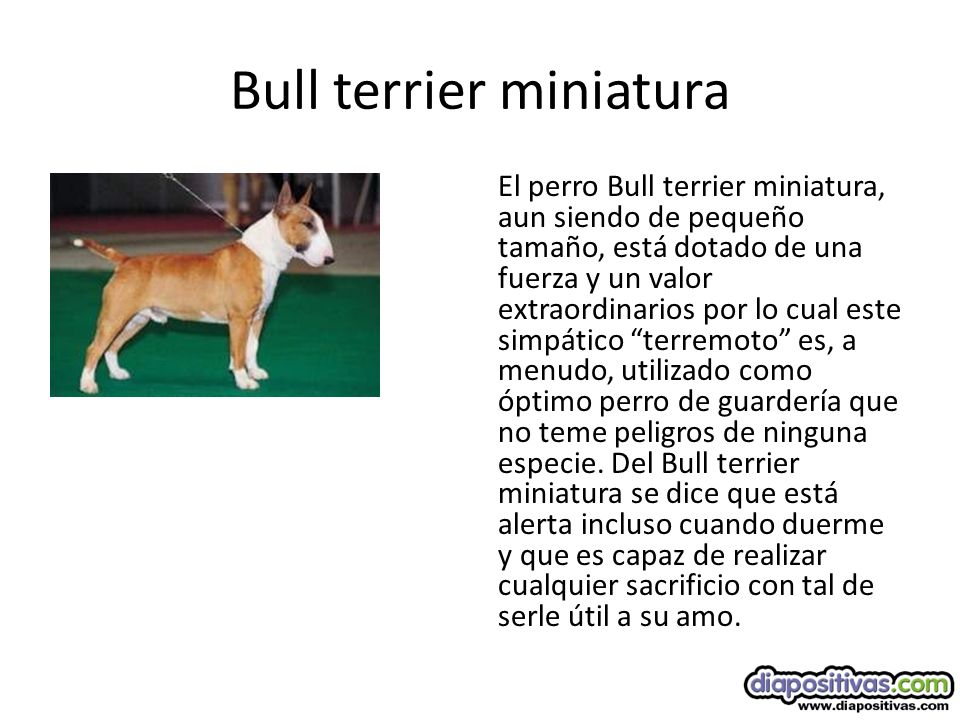Bull terrier miniatura El perro Bull terrier miniatura, aun siendo de pequeño tamaño, está dotado de una fuerza y un valor extraordinarios por lo cual este simpático terremoto es, a menudo, utilizado como óptimo perro de guardería que no teme peligros de ninguna especie.