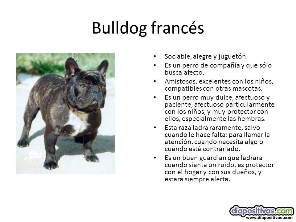 Bulldog francés Sociable, alegre y juguetón.Es un perro de compañía y que sólo busca afecto.