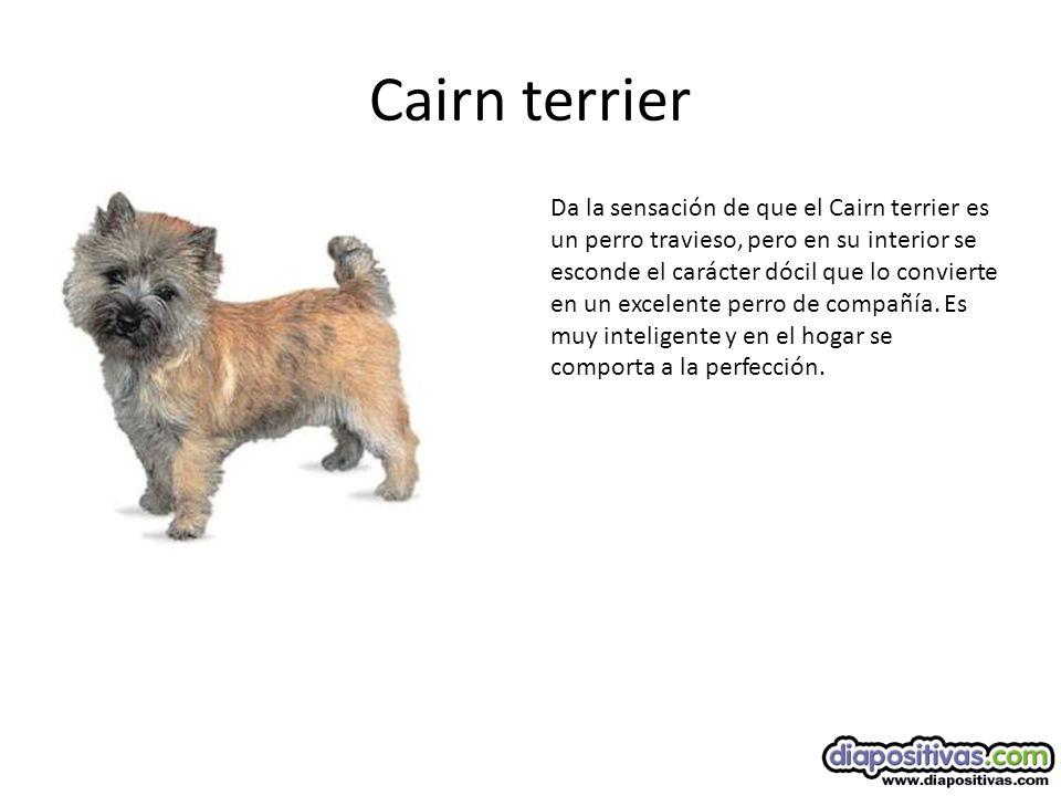 Cairn terrier Da la sensación de que el Cairn terrier es un perro travieso, pero en su interior se esconde el carácter dócil que lo convierte en un excelente perro de compañía.