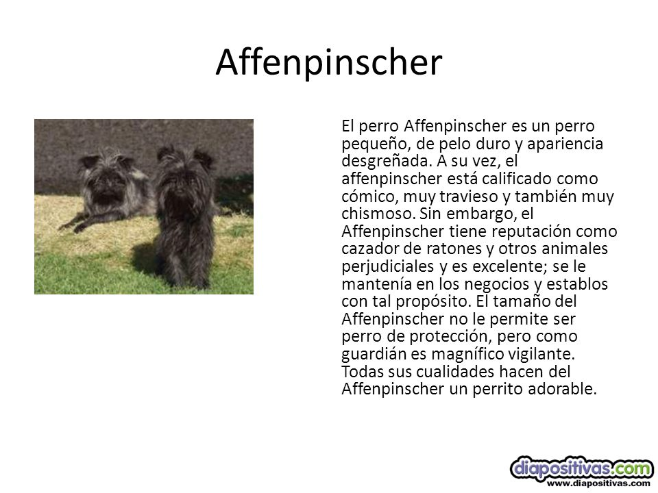 Affenpinscher El perro Affenpinscher es un perro pequeño, de pelo duro y apariencia desgreñada.