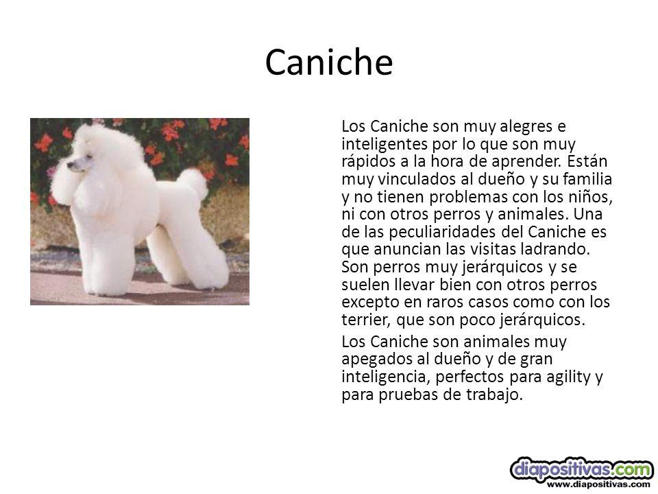 Caniche Los Caniche son muy alegres e inteligentes por lo que son muy rápidos a la hora de aprender.