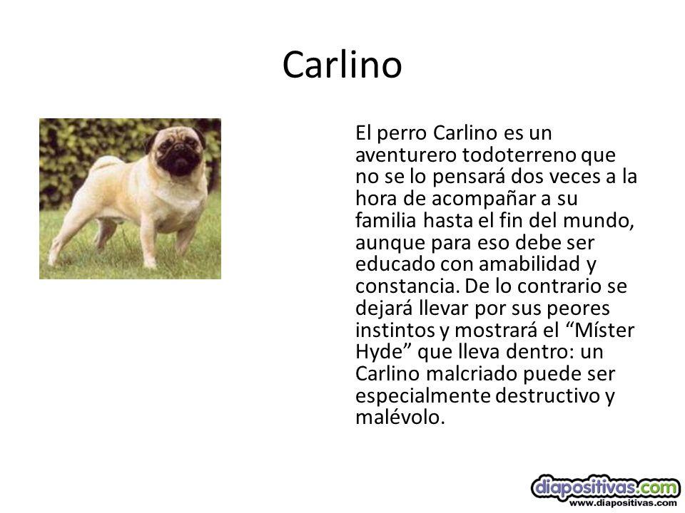 Carlino El perro Carlino es un aventurero todoterreno que no se lo pensará dos veces a la hora de acompañar a su familia hasta el fin del mundo, aunque para eso debe ser educado con amabilidad y constancia.