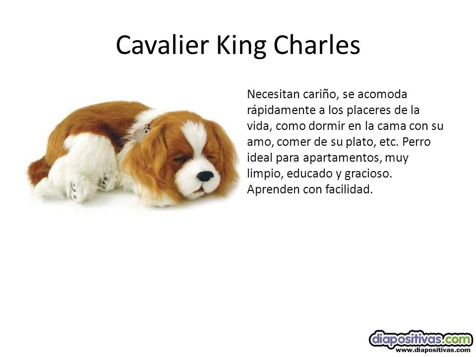 Cavalier King Charles Necesitan cariño, se acomoda rápidamente a los placeres de la vida, como dormir en la cama con su amo, comer de su plato, etc.