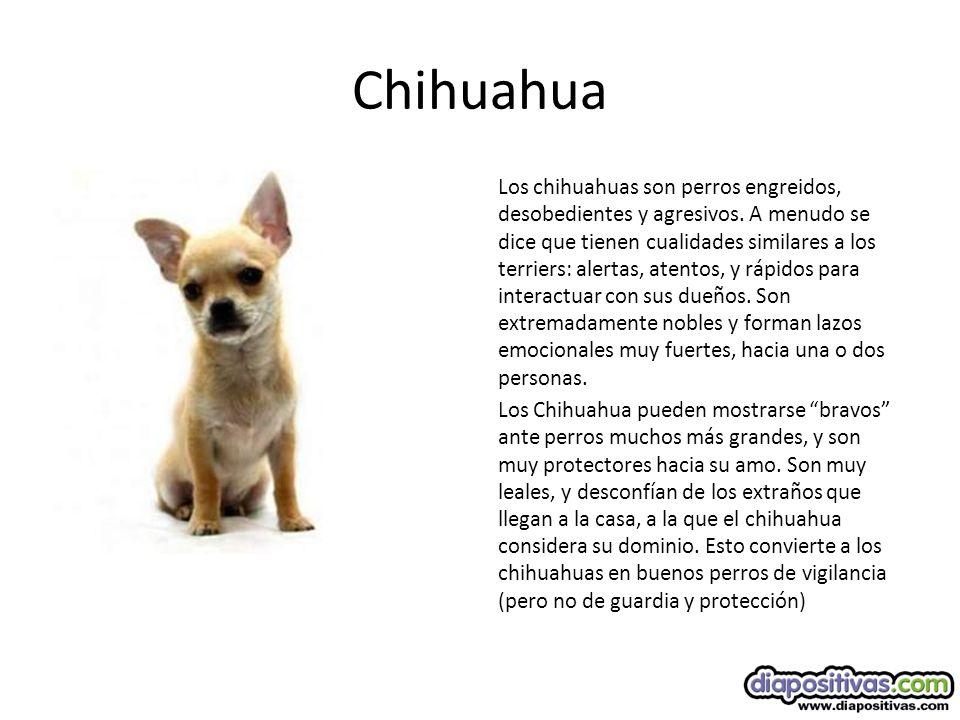 Chihuahua Los chihuahuas son perros engreidos, desobedientes y agresivos.