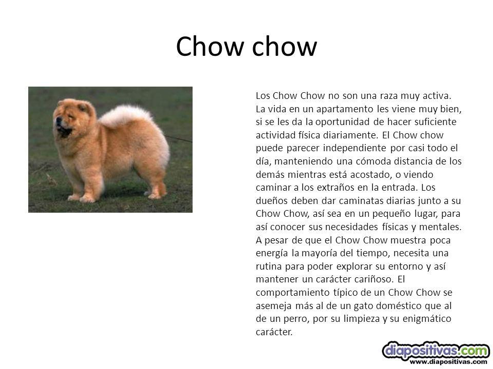 Chow chow Los Chow Chow no son una raza muy activa.