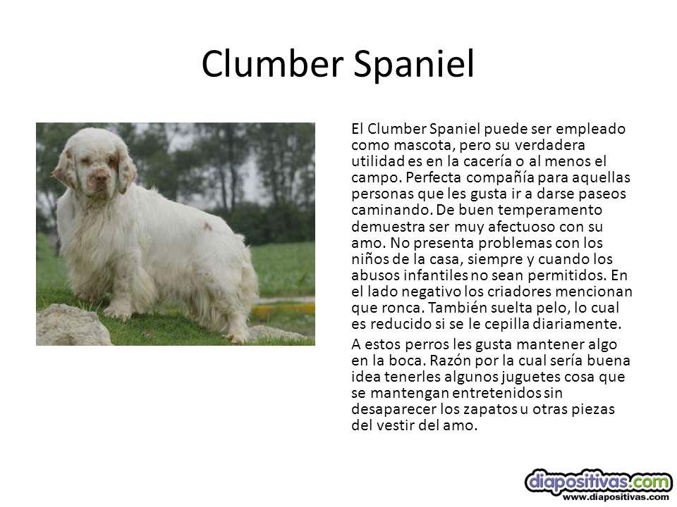 Clumber Spaniel El Clumber Spaniel puede ser empleado como mascota, pero su verdadera utilidad es en la cacería o al menos el campo.