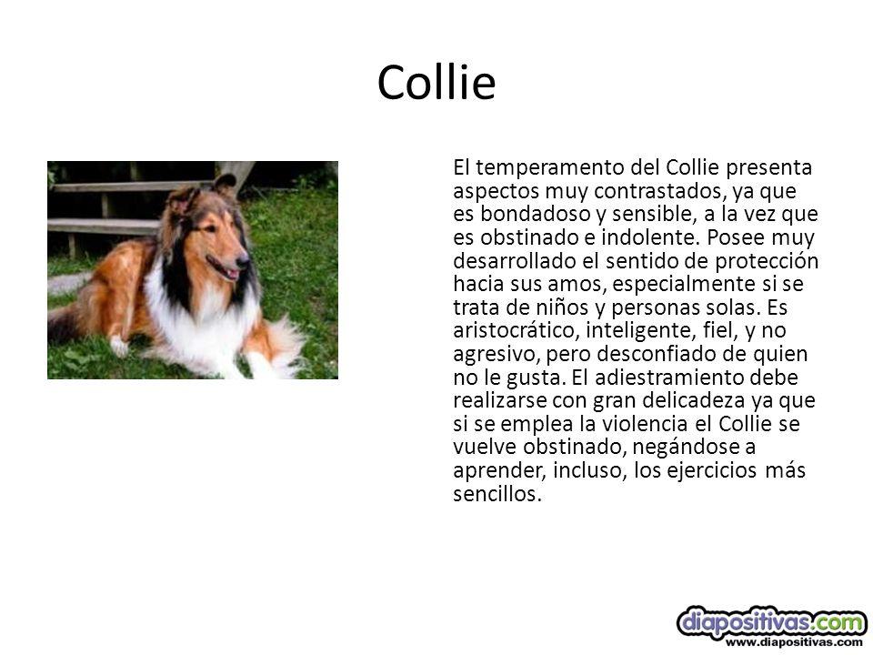 Collie El temperamento del Collie presenta aspectos muy contrastados, ya que es bondadoso y sensible, a la vez que es obstinado e indolente.