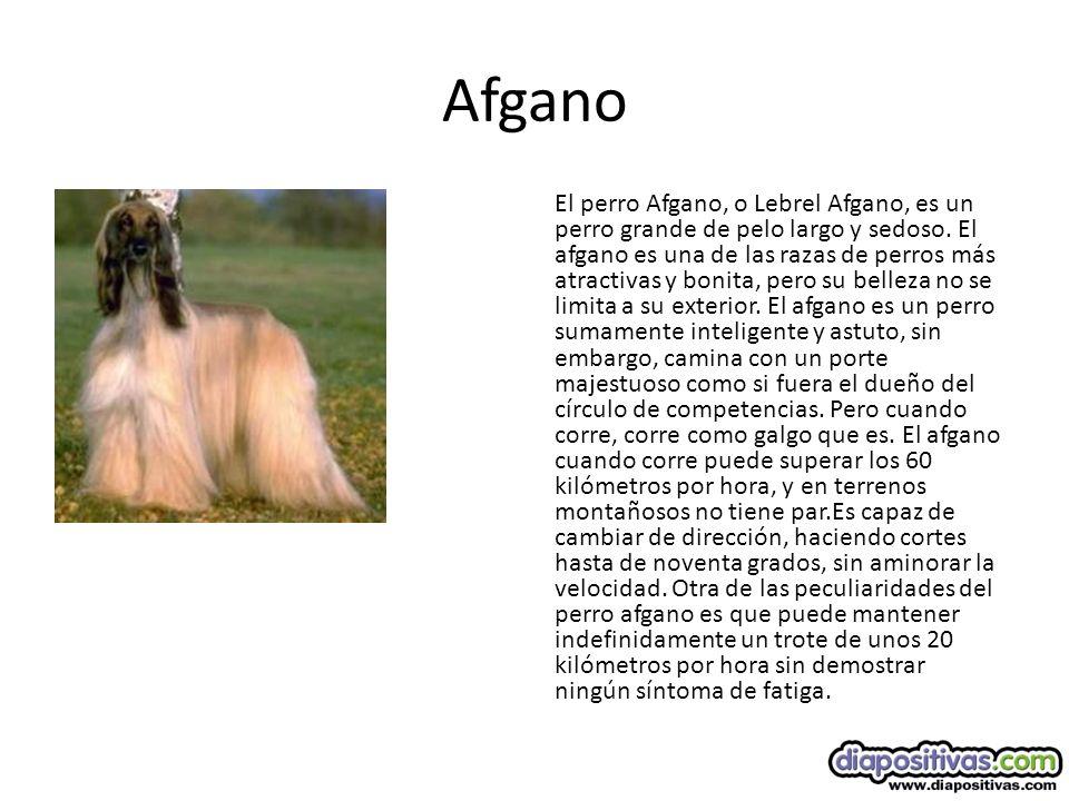 Lhasa Apso El Lhasa Apso es un perro formal y en estado de alerta, que se suele mostrar algo desconfiado con los extraños.
