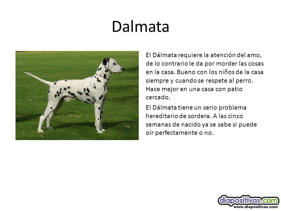 Dalmata El Dálmata requiere la atención del amo, de lo contrario le da por morder las cosas en la casa.