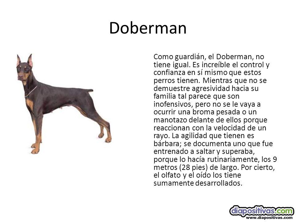 Doberman Como guardián, el Doberman, no tiene igual.