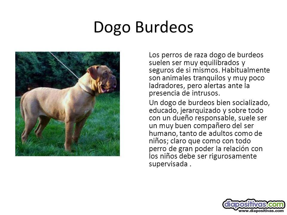 Dogo Burdeos Los perros de raza dogo de burdeos suelen ser muy equilibrados y seguros de si mismos.