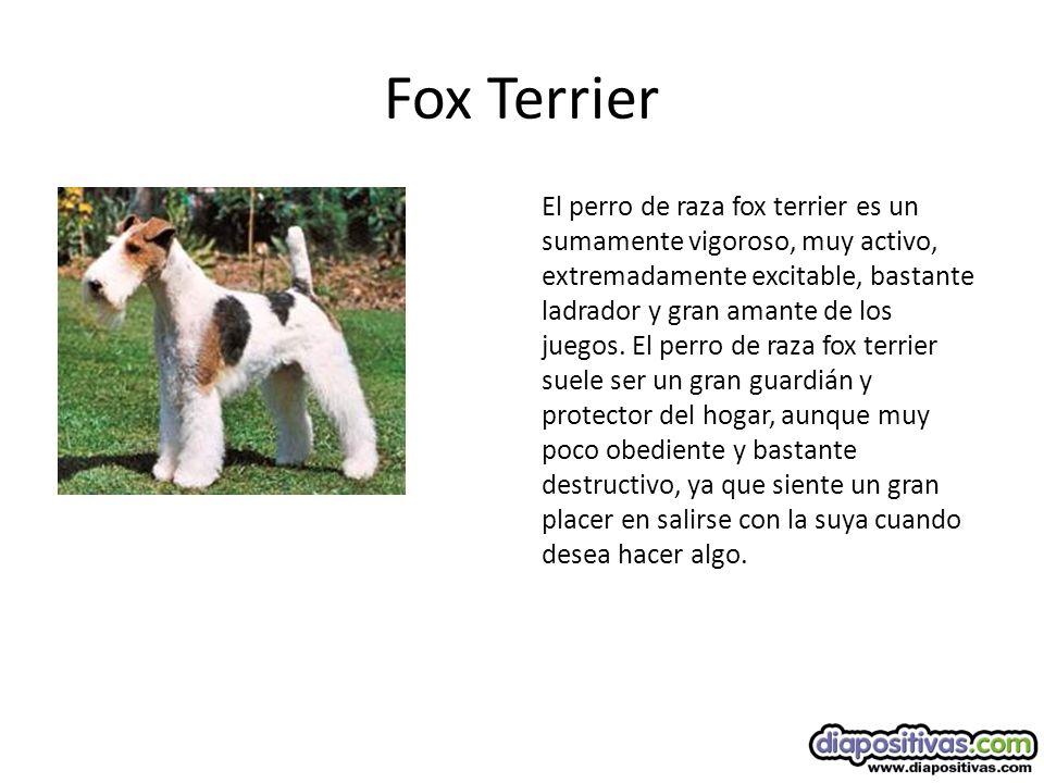 Fox Terrier El perro de raza fox terrier es un sumamente vigoroso, muy activo, extremadamente excitable, bastante ladrador y gran amante de los juegos.