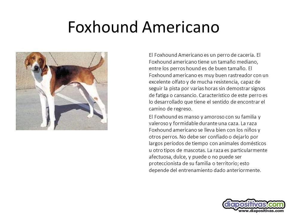 Foxhound Americano El Foxhound Americano es un perro de cacería.