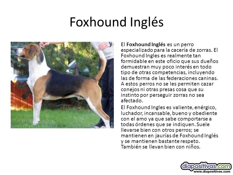 Foxhound Inglés El Foxhound Inglés es un perro especializado para la cacería de zorras.