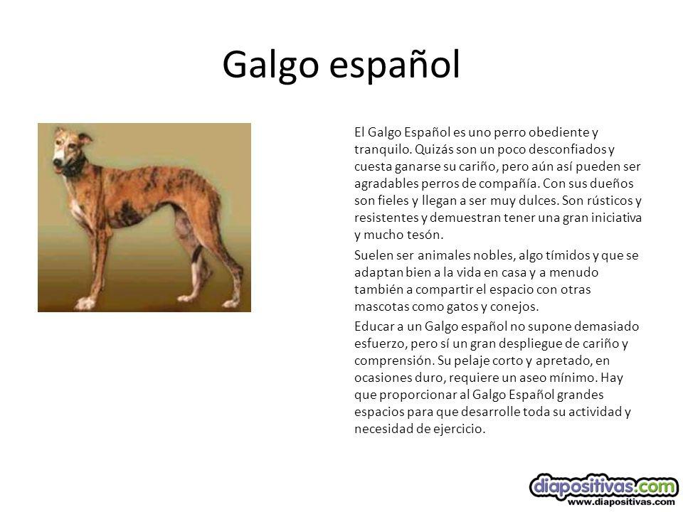 Galgo español El Galgo Español es uno perro obediente y tranquilo.