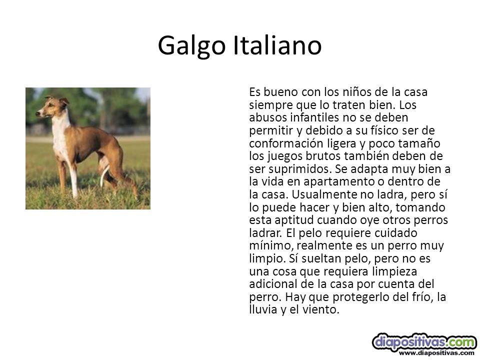 Galgo Italiano Es bueno con los niños de la casa siempre que lo traten bien.