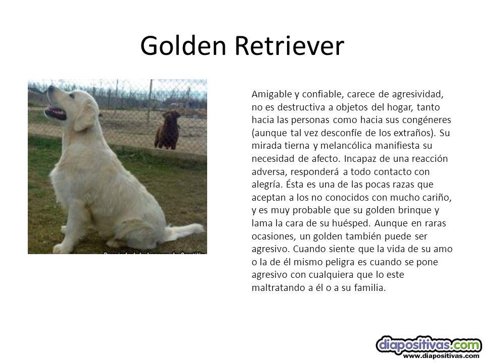 Golden Retriever Amigable y confiable, carece de agresividad, no es destructiva a objetos del hogar, tanto hacia las personas como hacia sus congéneres (aunque tal vez desconfíe de los extraños).
