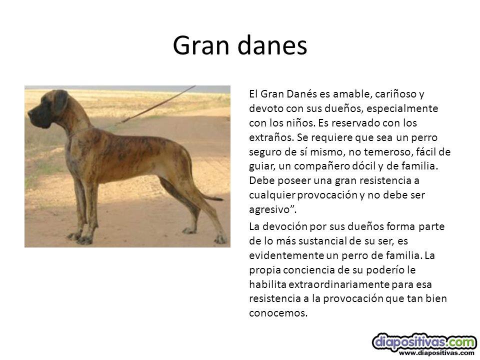 Gran danes El Gran Danés es amable, cariñoso y devoto con sus dueños, especialmente con los niños.