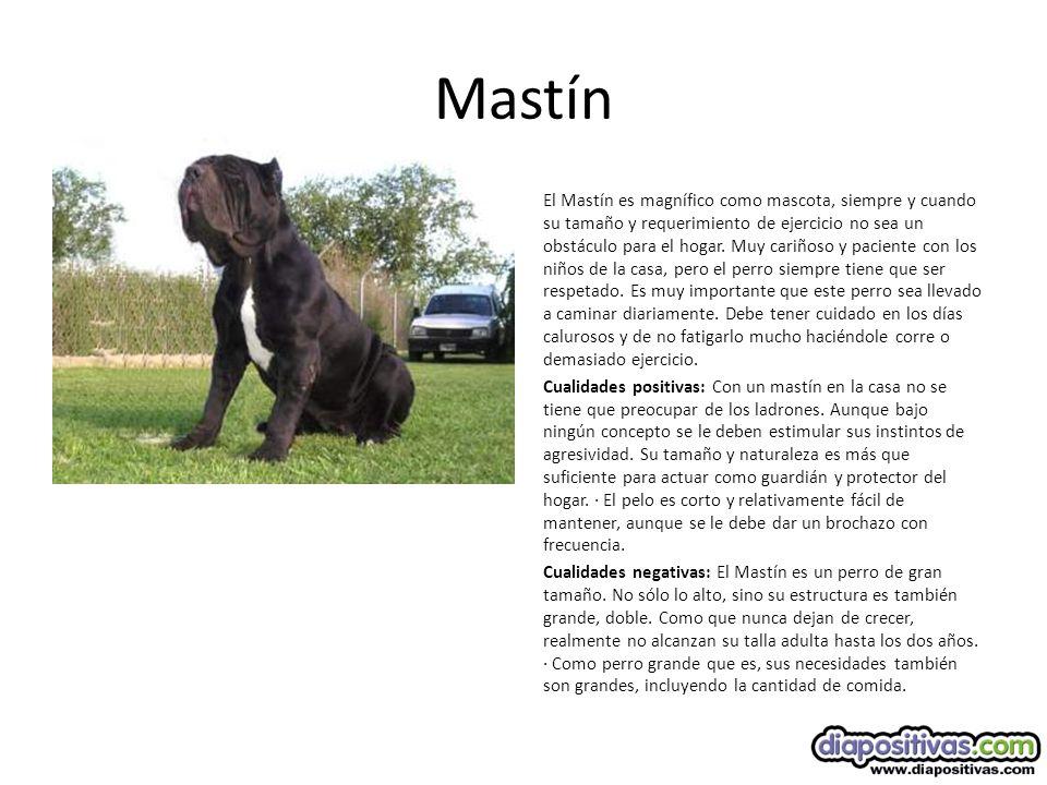 Mastín El Mastín es magnífico como mascota, siempre y cuando su tamaño y requerimiento de ejercicio no sea un obstáculo para el hogar.
