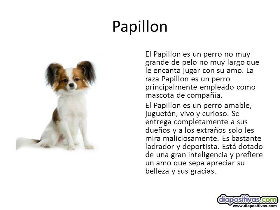 Papillon El Papillon es un perro no muy grande de pelo no muy largo que le encanta jugar con su amo.