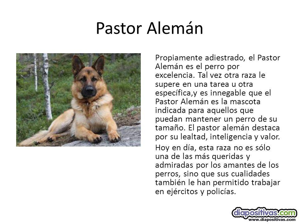 Pastor Alemán Propiamente adiestrado, el Pastor Alemán es el perro por excelencia.