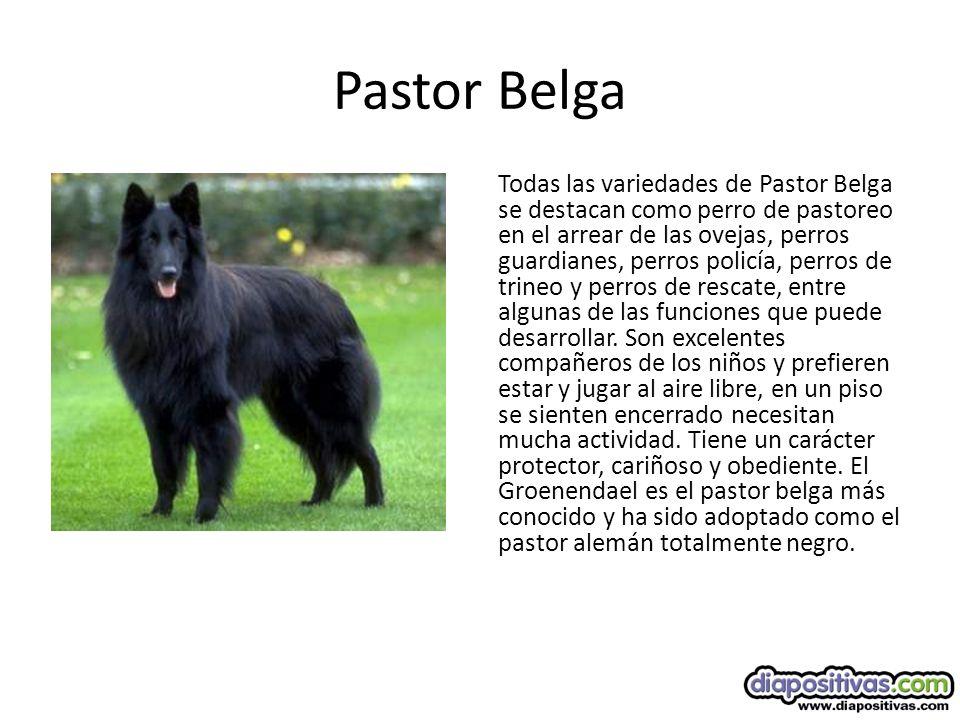 Pastor Belga Todas las variedades de Pastor Belga se destacan como perro de pastoreo en el arrear de las ovejas, perros guardianes, perros policía, perros de trineo y perros de rescate, entre algunas de las funciones que puede desarrollar.
