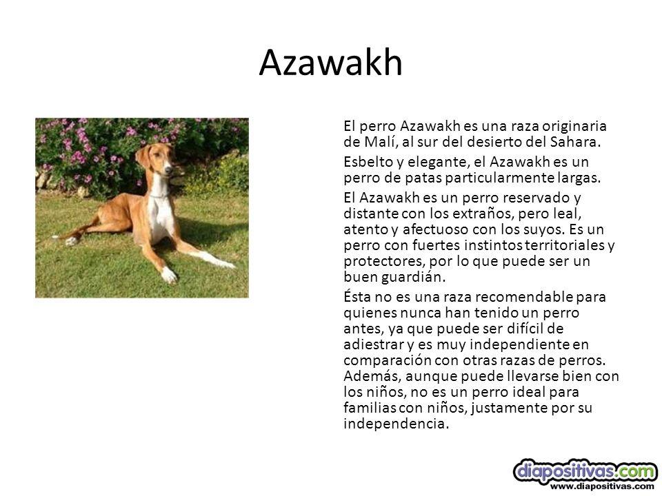 Azawakh El perro Azawakh es una raza originaria de Malí, al sur del desierto del Sahara.