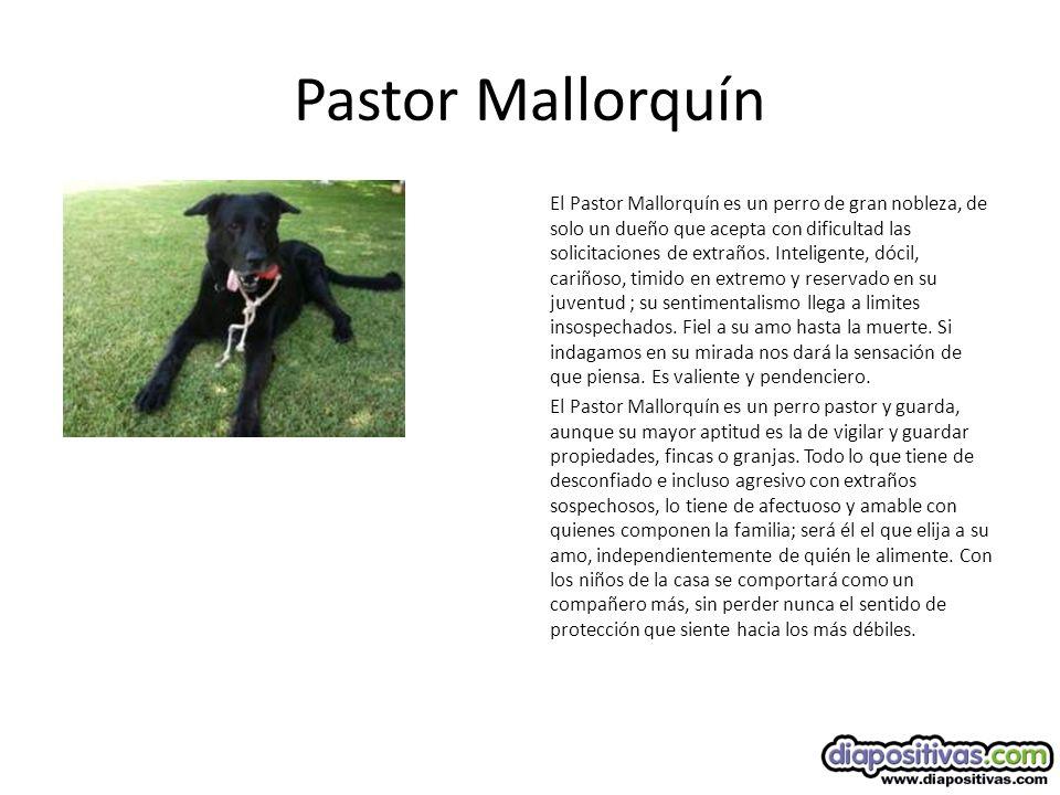 Pastor Mallorquín El Pastor Mallorquín es un perro de gran nobleza, de solo un dueño que acepta con dificultad las solicitaciones de extraños.