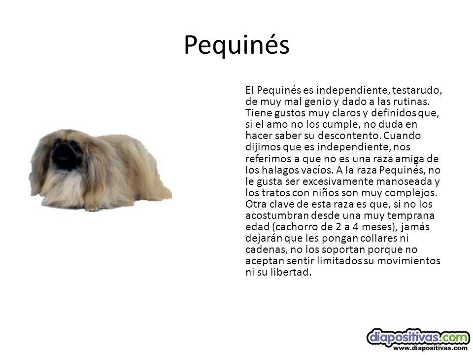Pequinés El Pequinés es independiente, testarudo, de muy mal genio y dado a las rutinas.