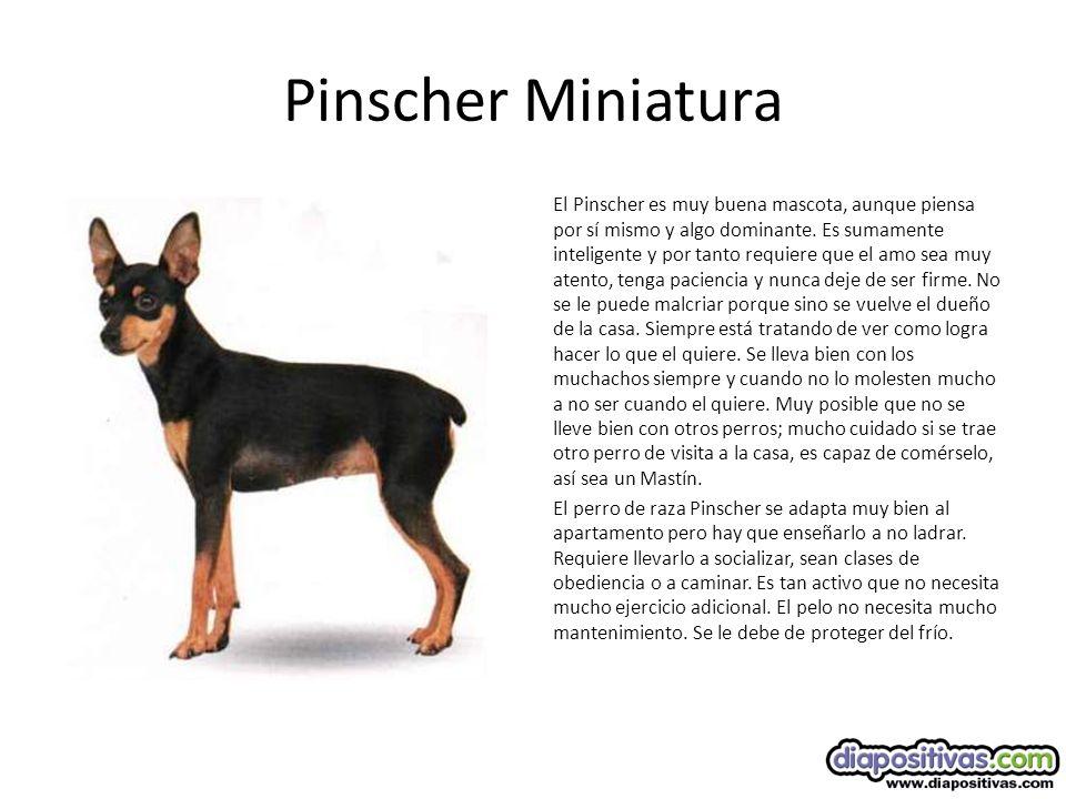 Pinscher Miniatura El Pinscher es muy buena mascota, aunque piensa por sí mismo y algo dominante.