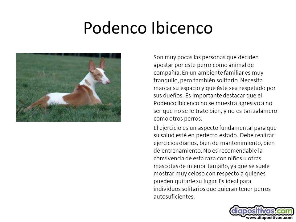 Podenco Ibicenco Son muy pocas las personas que deciden apostar por este perro como animal de compañía.