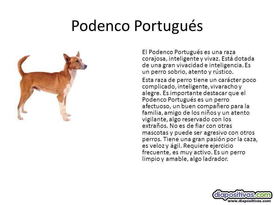Podenco Portugués El Podenco Portugués es una raza corajosa, inteligente y vivaz.