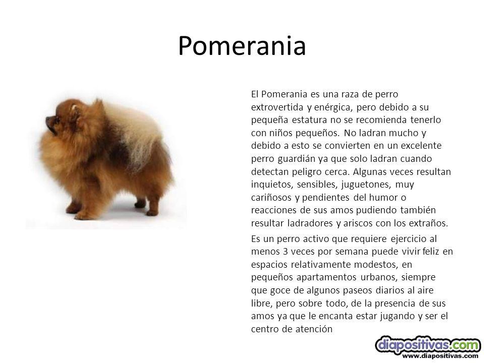 Pomerania El Pomerania es una raza de perro extrovertida y enérgica, pero debido a su pequeña estatura no se recomienda tenerlo con niños pequeños.
