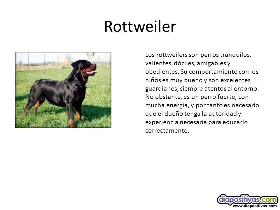 Rottweiler Los rottweilers son perros tranquilos, valientes, dóciles, amigables y obedientes.