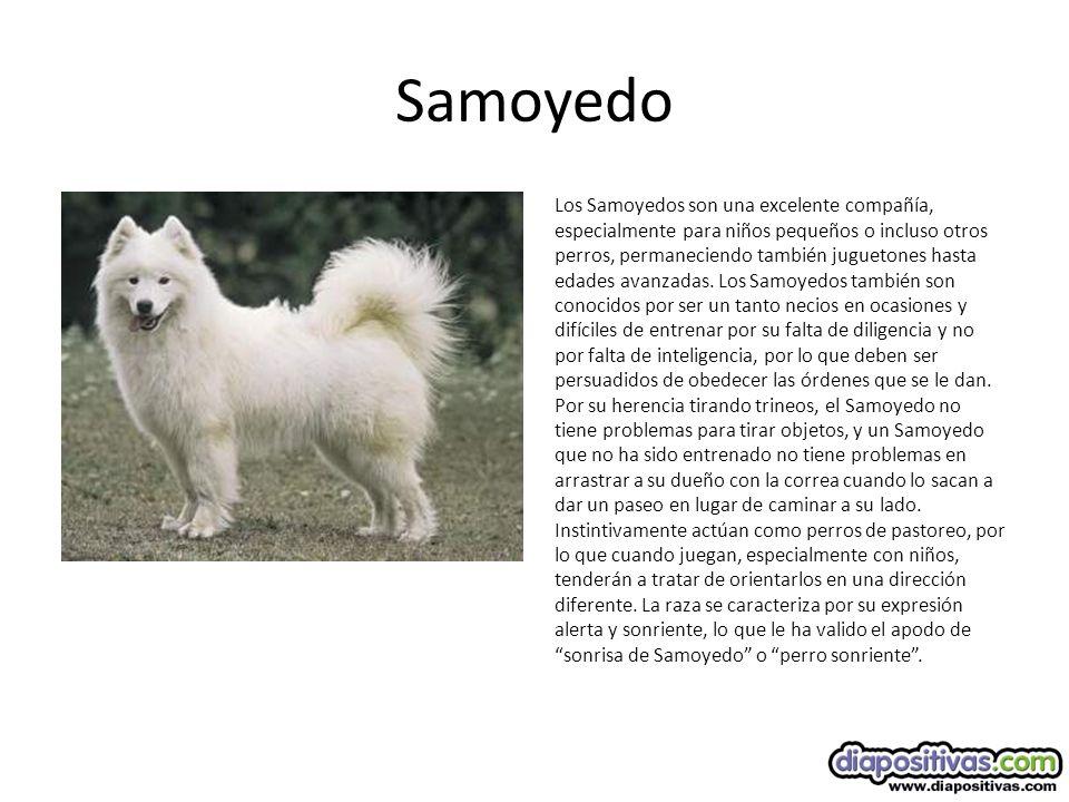 Samoyedo Los Samoyedos son una excelente compañía, especialmente para niños pequeños o incluso otros perros, permaneciendo también juguetones hasta edades avanzadas.