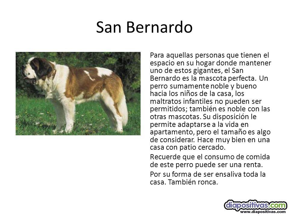 San Bernardo Para aquellas personas que tienen el espacio en su hogar donde mantener uno de estos gigantes, el San Bernardo es la mascota perfecta.