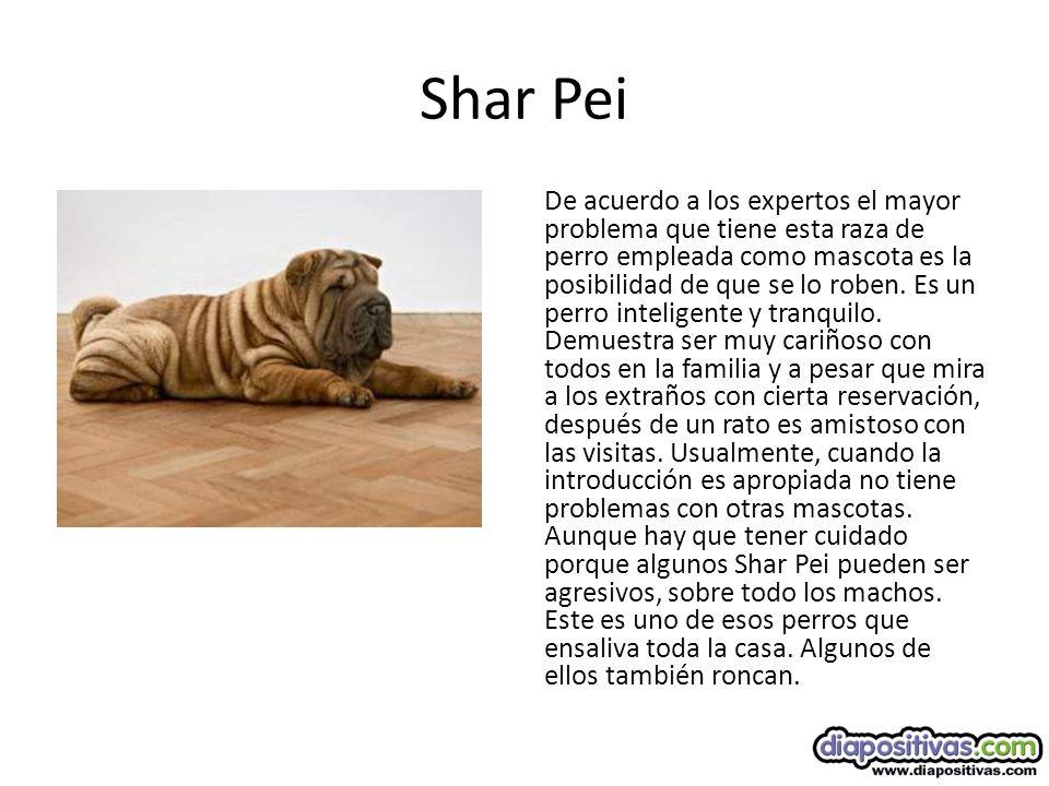 Shar Pei De acuerdo a los expertos el mayor problema que tiene esta raza de perro empleada como mascota es la posibilidad de que se lo roben.