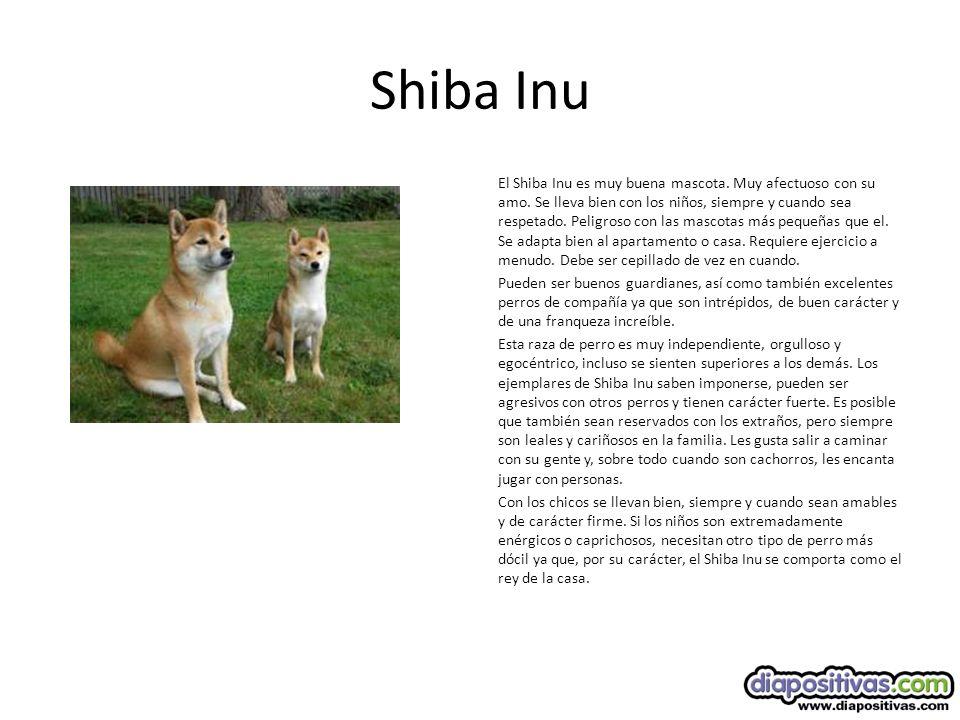 Shiba Inu El Shiba Inu es muy buena mascota.Muy afectuoso con su amo.