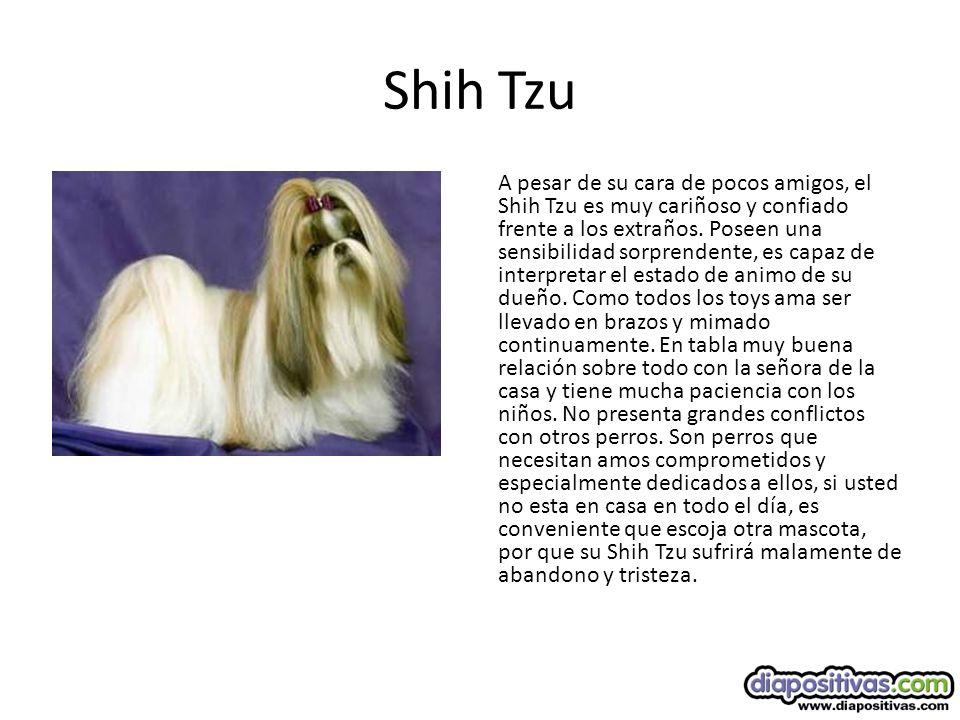 Shih Tzu A pesar de su cara de pocos amigos, el Shih Tzu es muy cariñoso y confiado frente a los extraños.