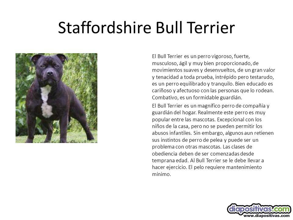 Staffordshire Bull Terrier El Bull Terrier es un perro vigoroso, fuerte, musculoso, ágil y muy bien proporcionado, de movimientos suaves y desenvueltos, de un gran valor y tenacidad a toda prueba, intrépido pero testarudo, es un perro equilibrado y tranquilo.